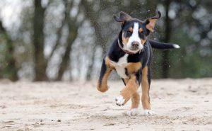 großer schweizer sennenhund junghund im schnee