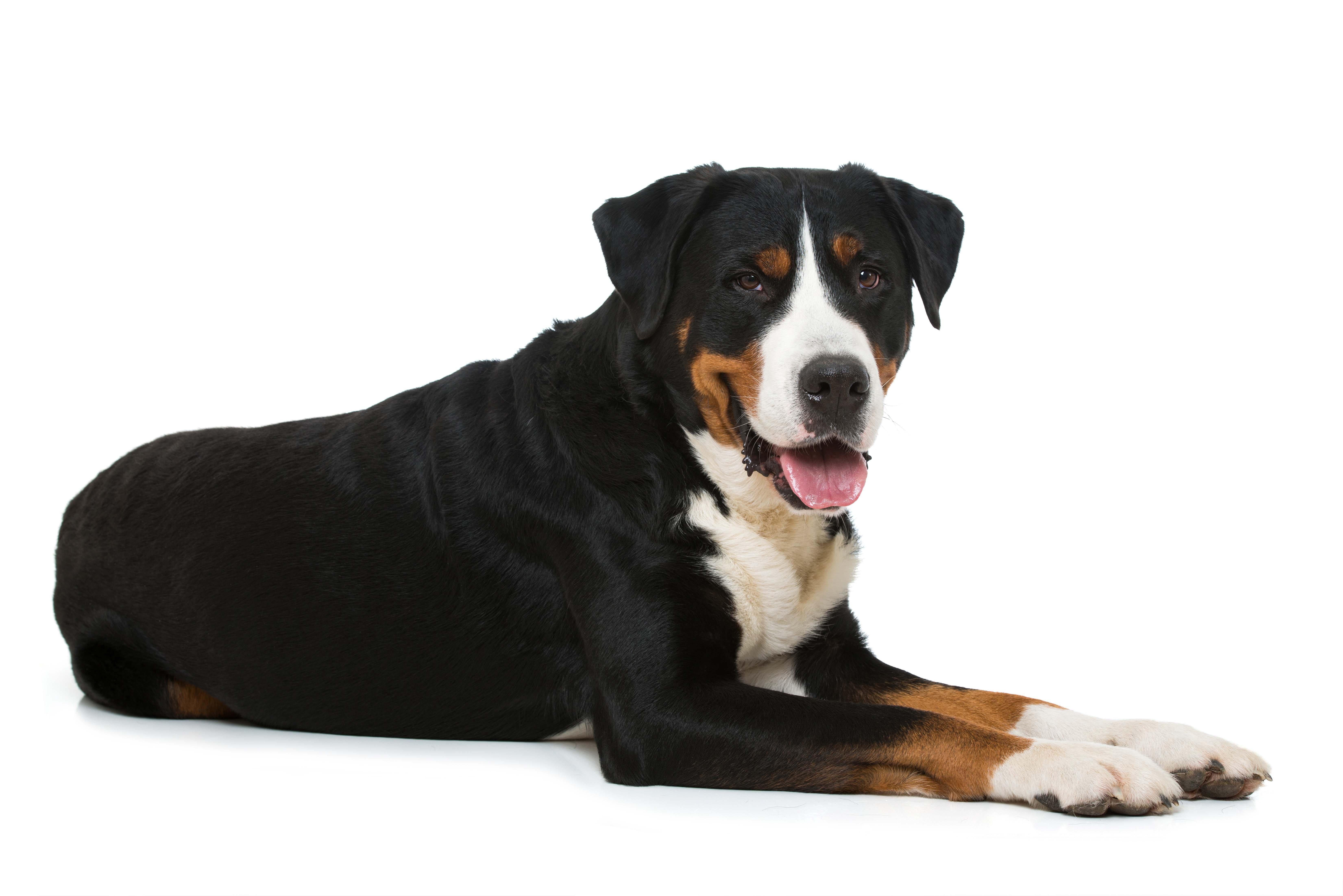 Großer Schweizer Sennenhund liegend