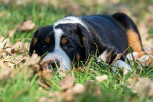großer schweizer sennenhund welpe liegt auf einer Wiese