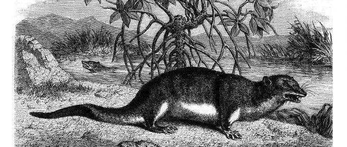 Große Otterspitzmaus Illustration