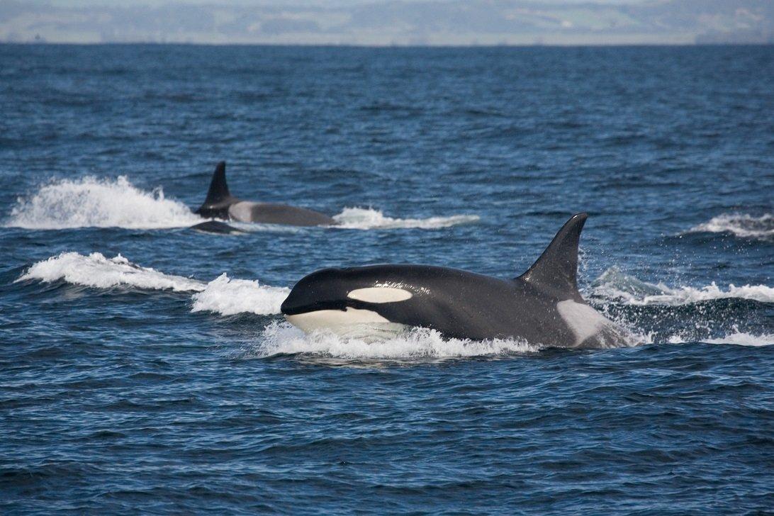 Zwei Große Schwertwale im Meer