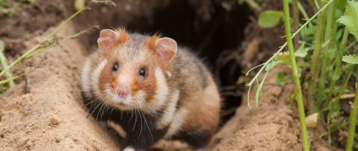 Hamster vor Bau