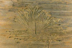Hausbock Holzwurm