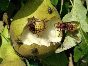 hornissen an obst