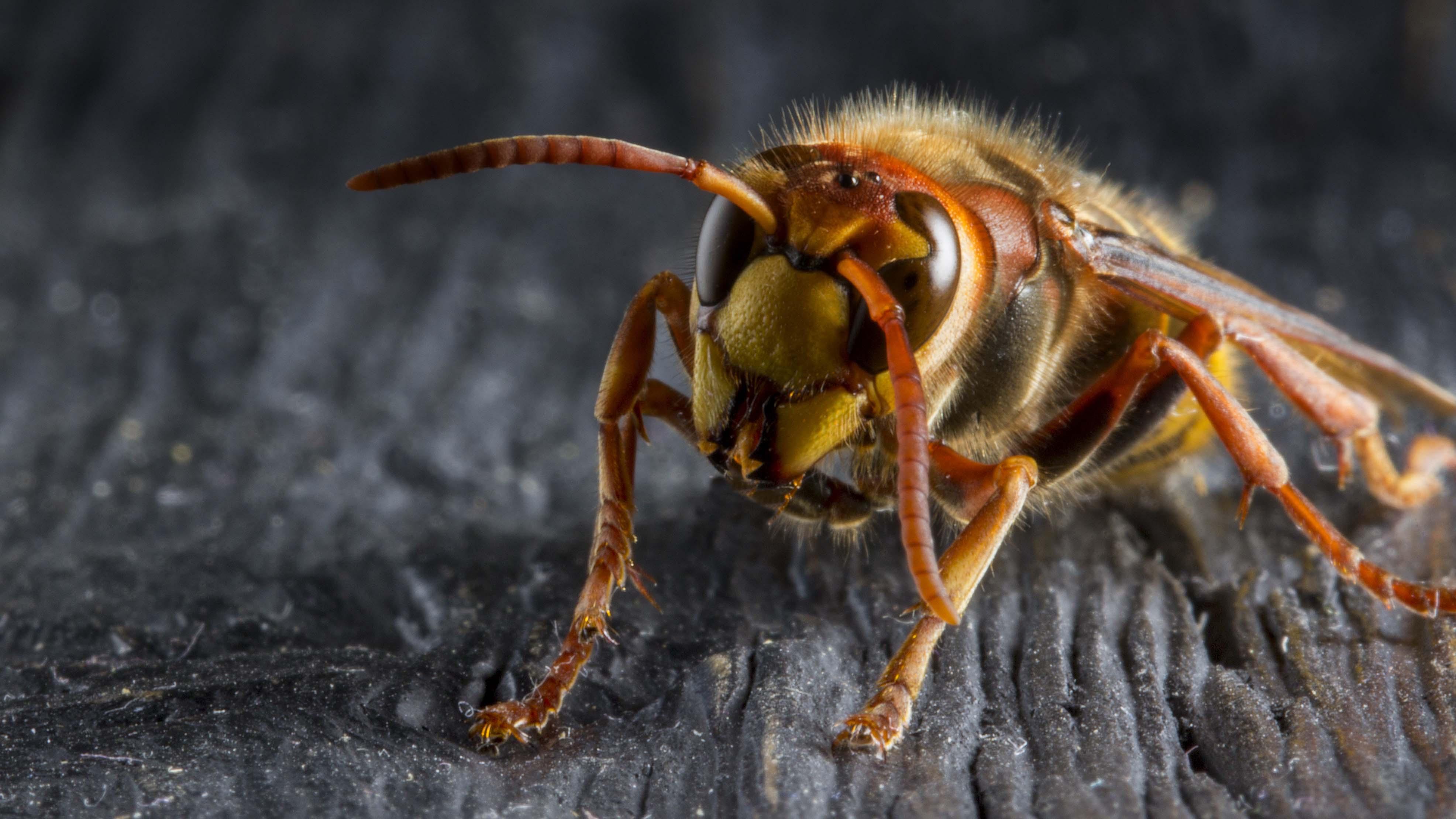 was fressen hornissen