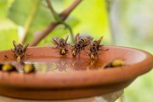 hornissen an wasserschale