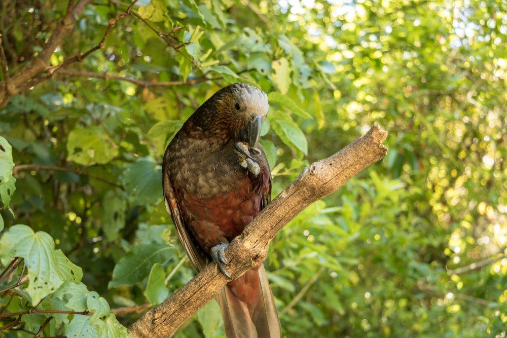 Kaka im Wald