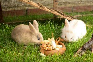 zwei kaninchen fressen im freigehege