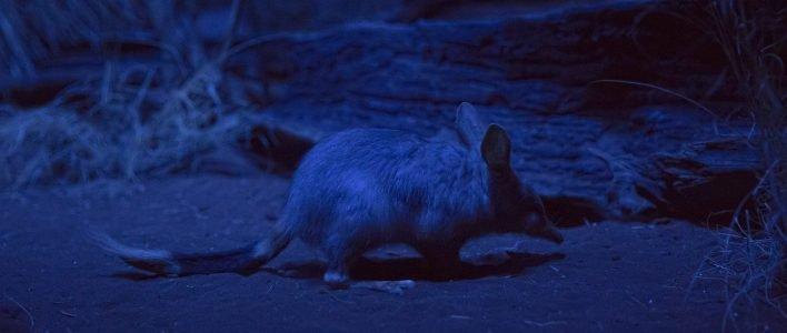 Großer Kaninchen Nasenbeutler