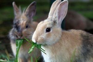 zwei kaninchen fressen löwenzahn