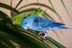 katharinasittich pärchen blau grün