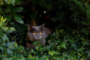 Katze im Efeu giftige Pflanzen für Katzen