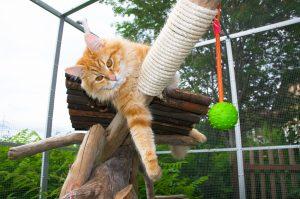 sibirische katze im freigehege