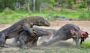 drei Komododrachen streiten um Futter