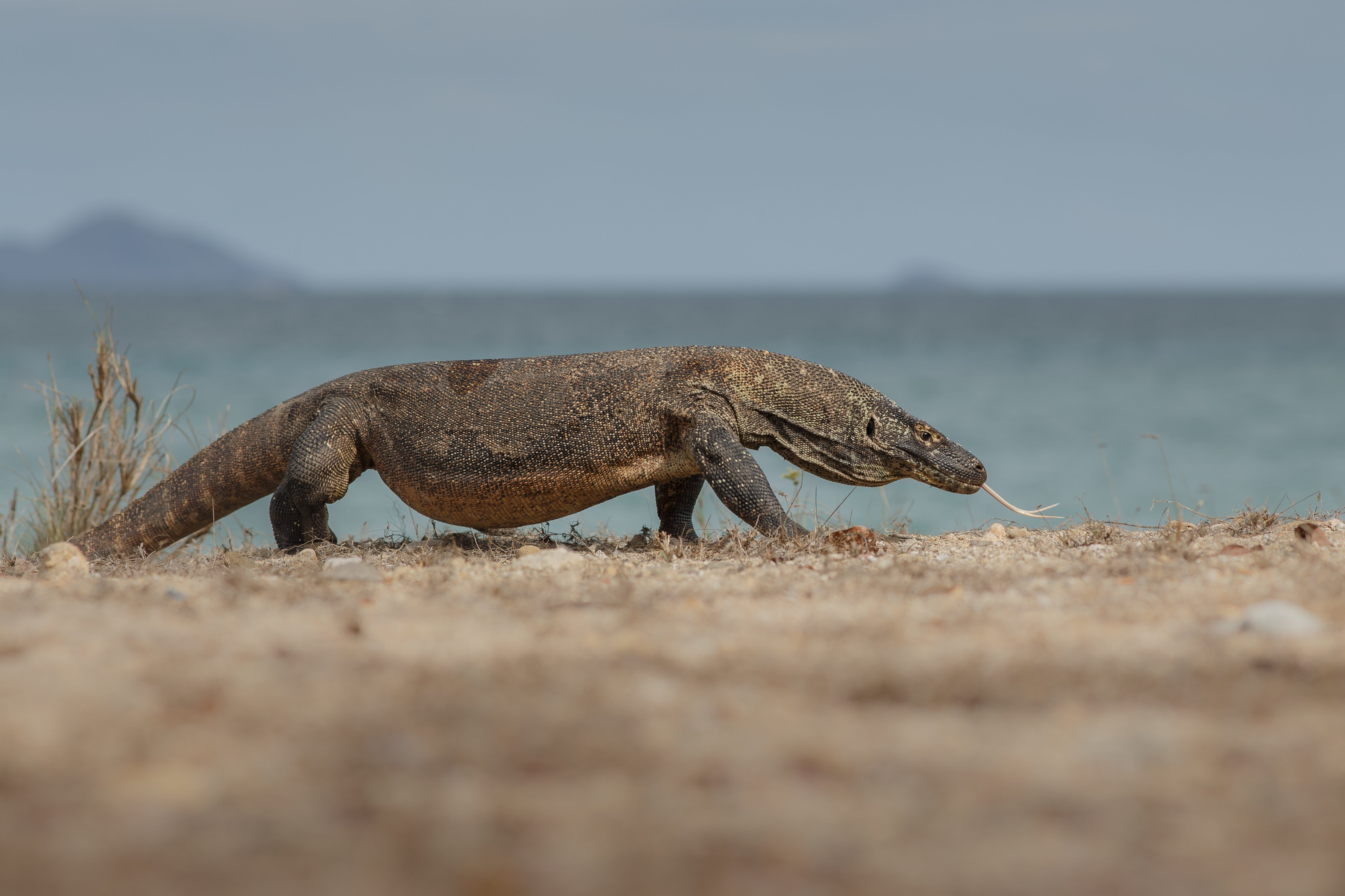 Komodowaran am Strand
