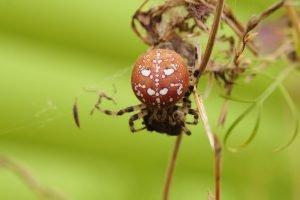 kreuzspinnen arten vierfleckkreuzspinne