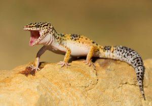 leopard gecko in der sonne