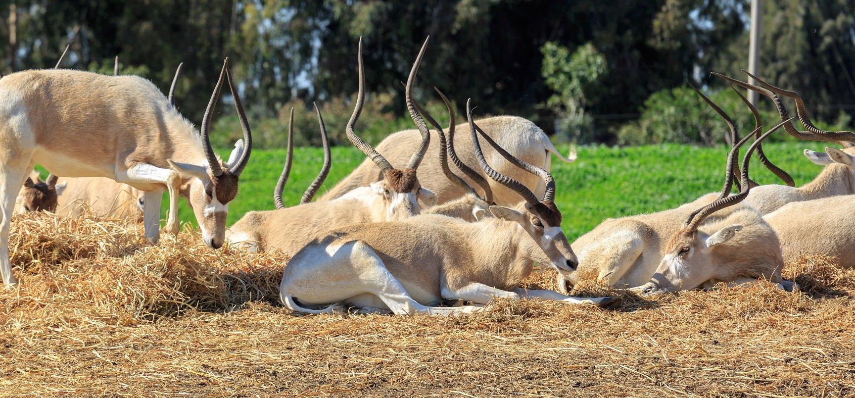 Mendesantilope