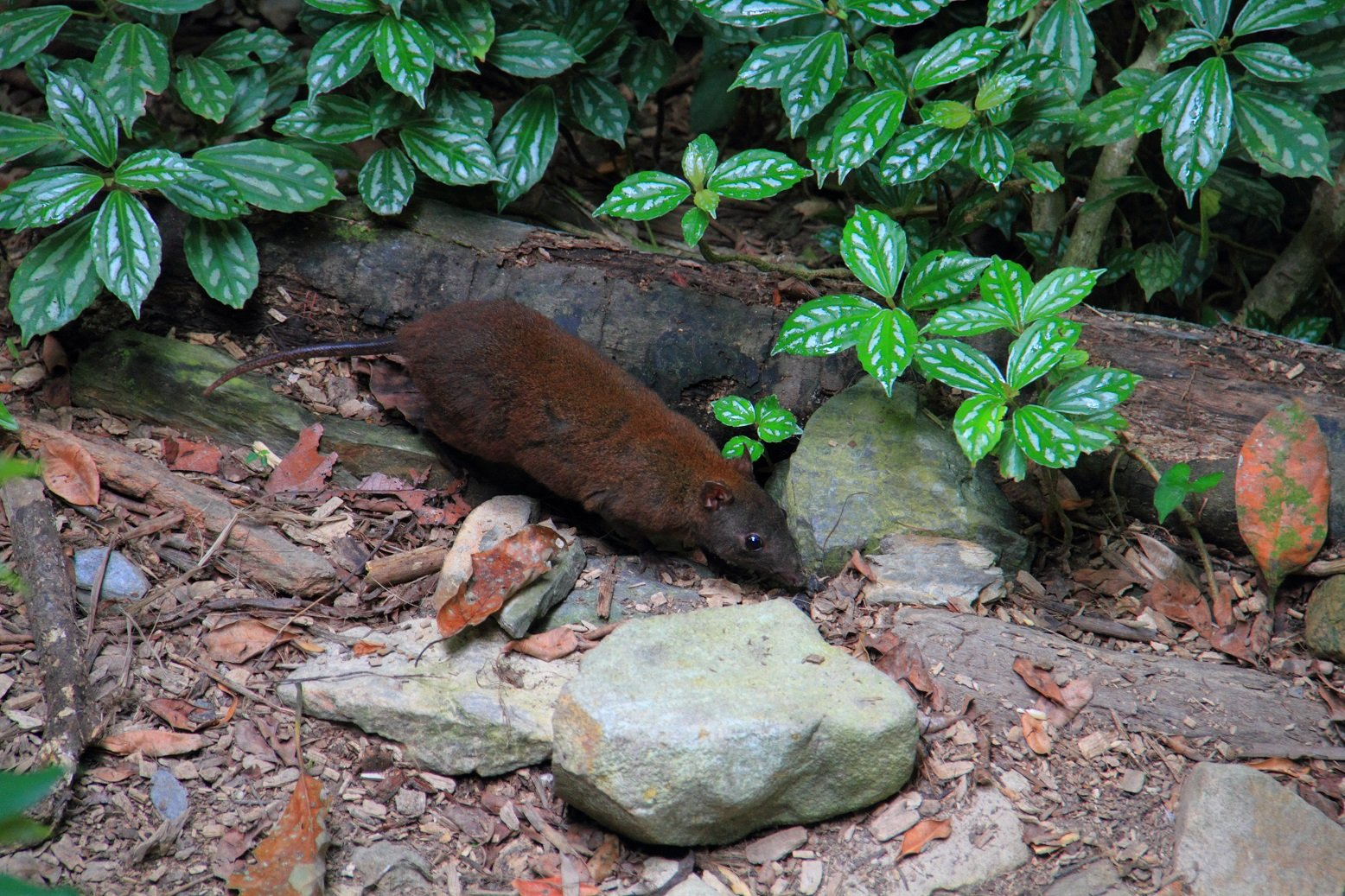 Moschusrattenkänguru