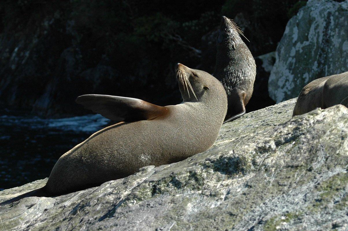 Neuseeländischer Seebär