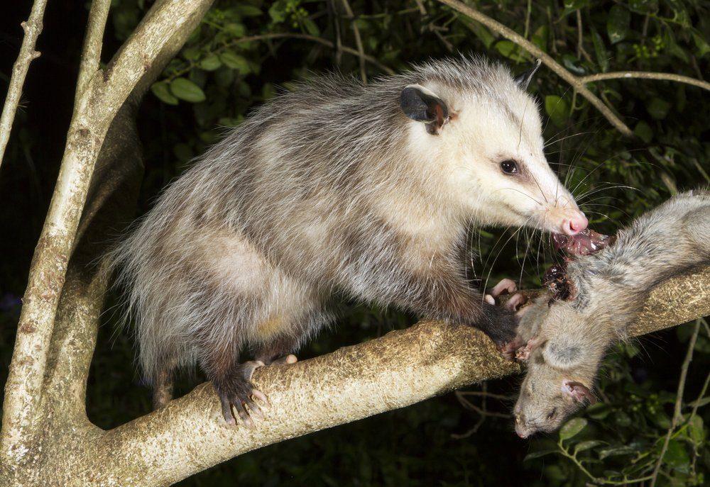 Nordopossum