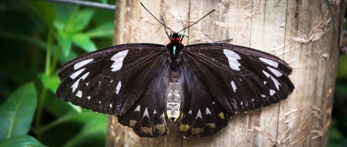Ornithoptera priamus Weibchen