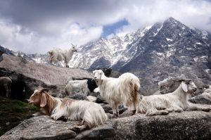 Pashmina Ziegen Wolle Kashmir