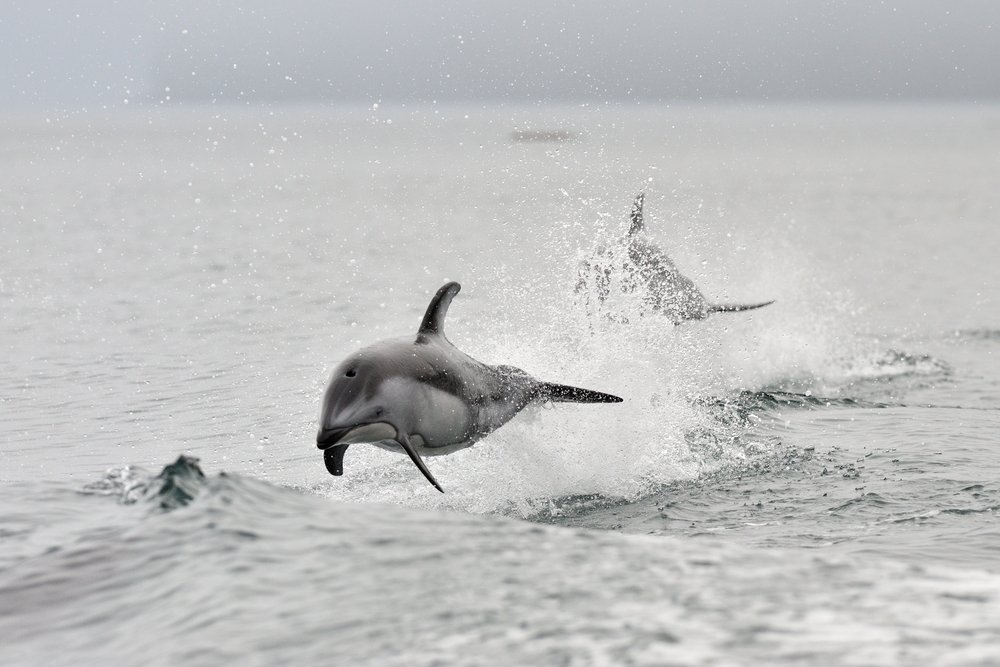 Pazifischer Weißseitendelfin