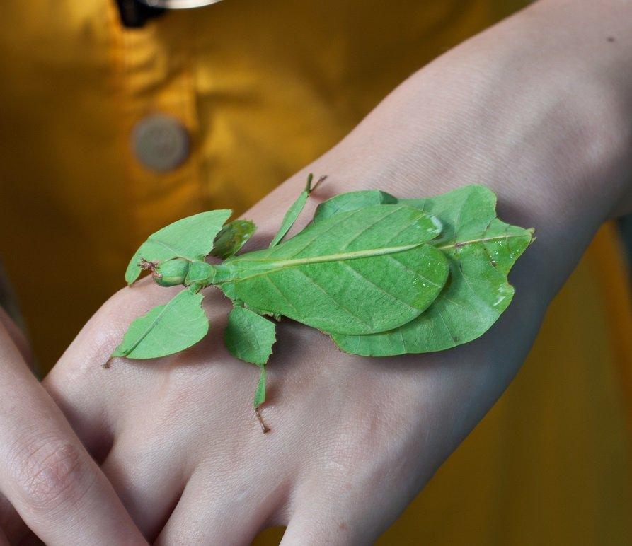 Phyllium siccifolium auf Hand