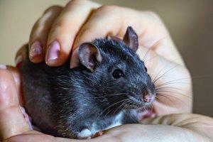 graue ratte wird gestreichelt