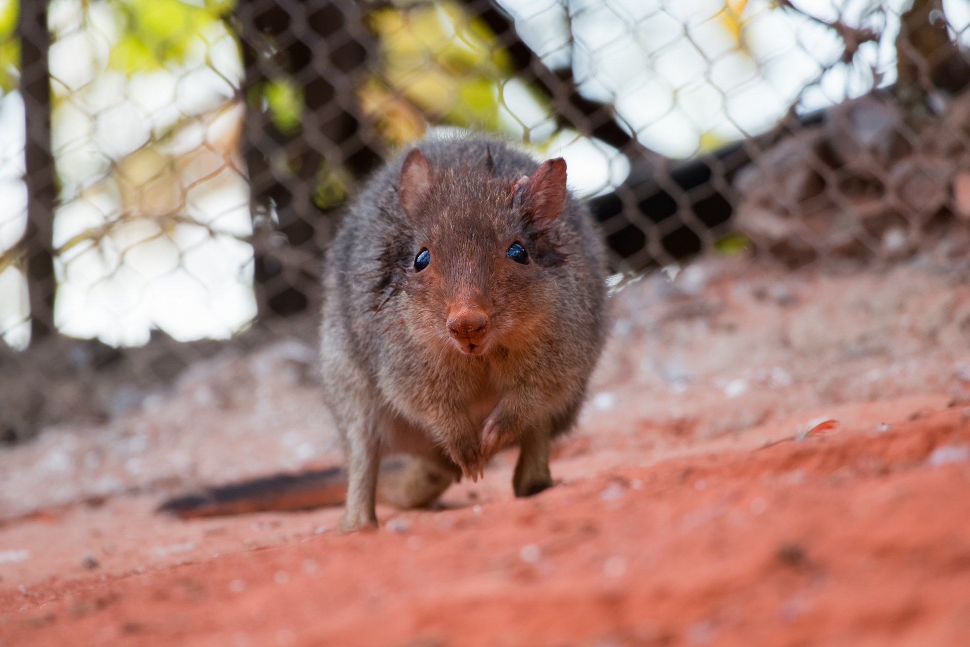 Rotes Rattenkänguru