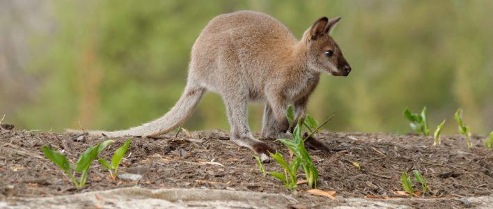 Bennettwallaby