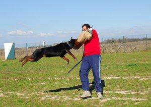 rottweiler training angriff