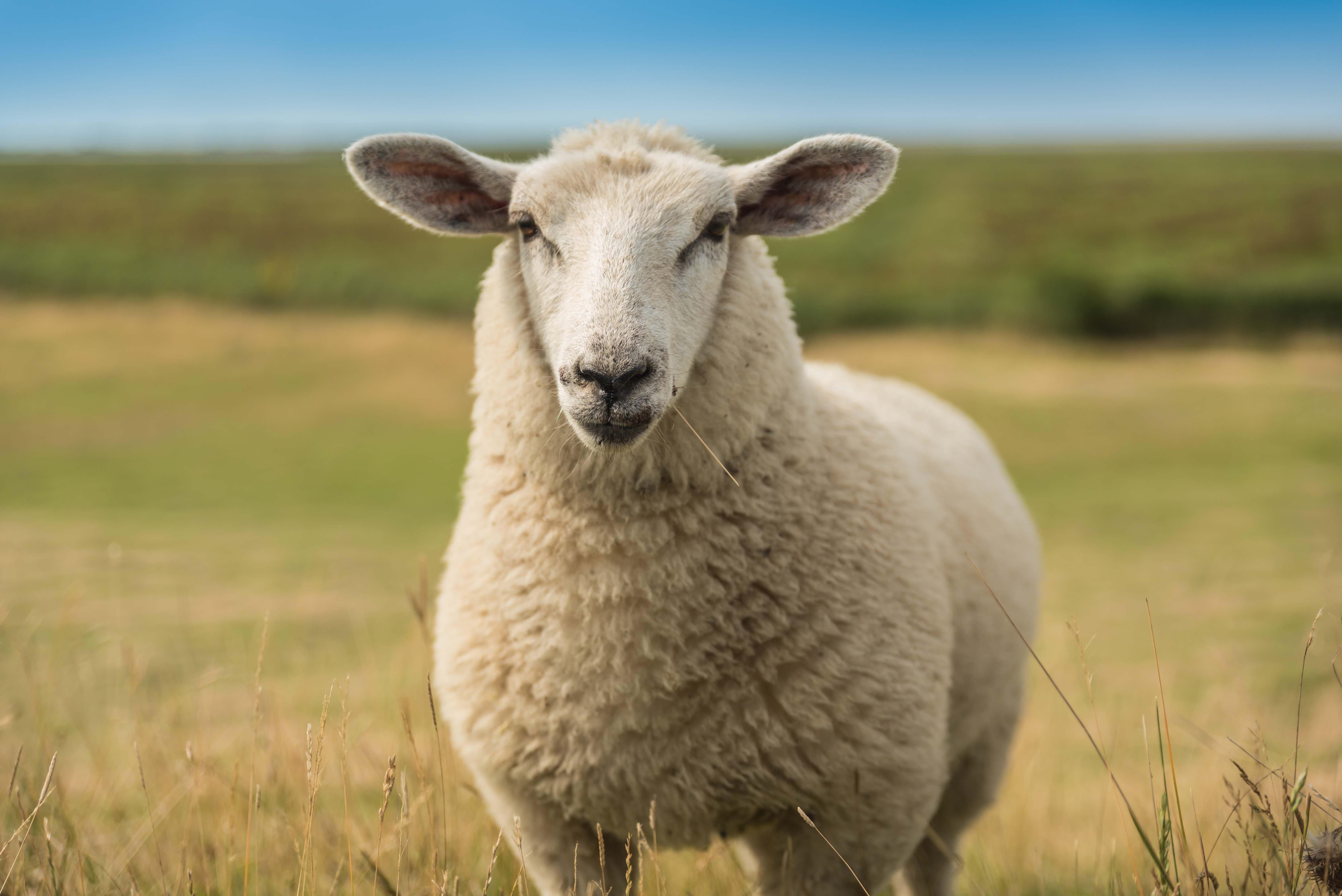 Schaf an der Nordsee