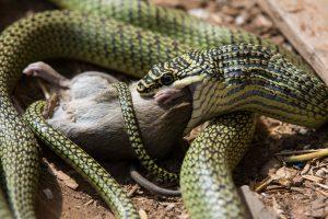 grüne Schlange Baumnattter frisst Ratte