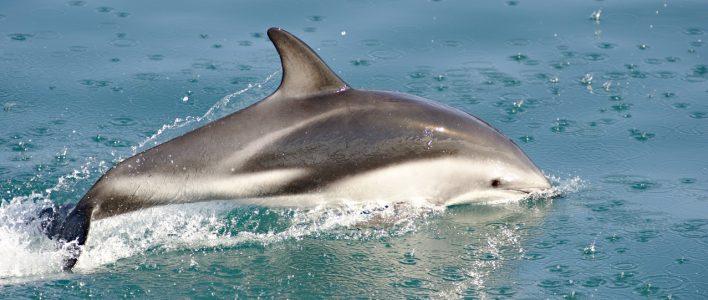 Schwarzdelfin im Meer