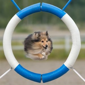 shetland sheepdog beim training