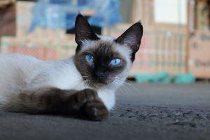 Siamkater mit blauen Augen