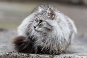graue sibirische katze