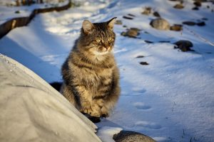 sibirische katze sitzt im schnee