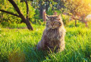 sibirische katze auf wiese