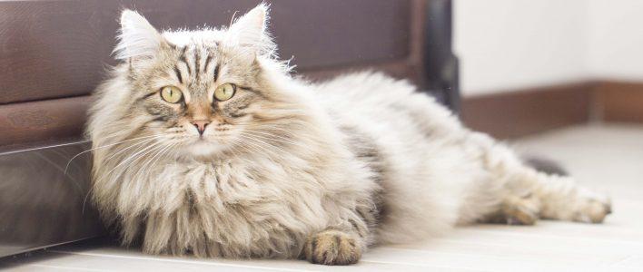 sibirische katze langgestreckt auf dem boden liegend