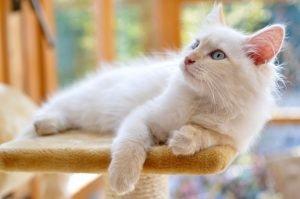 sibirische katze auf kratzbaum