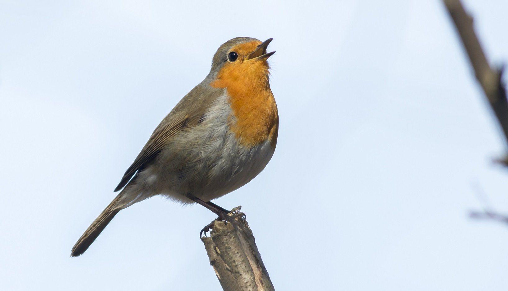 rotkehlchen gesang singvögel