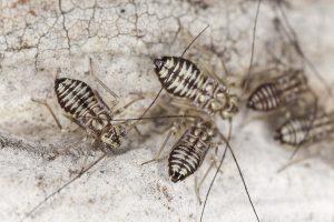 staubläuse auf schimmel unter dem mikroskop