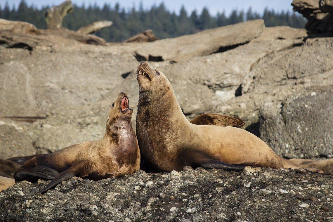 Stellerscher Seelöwe mit Nachwuchs