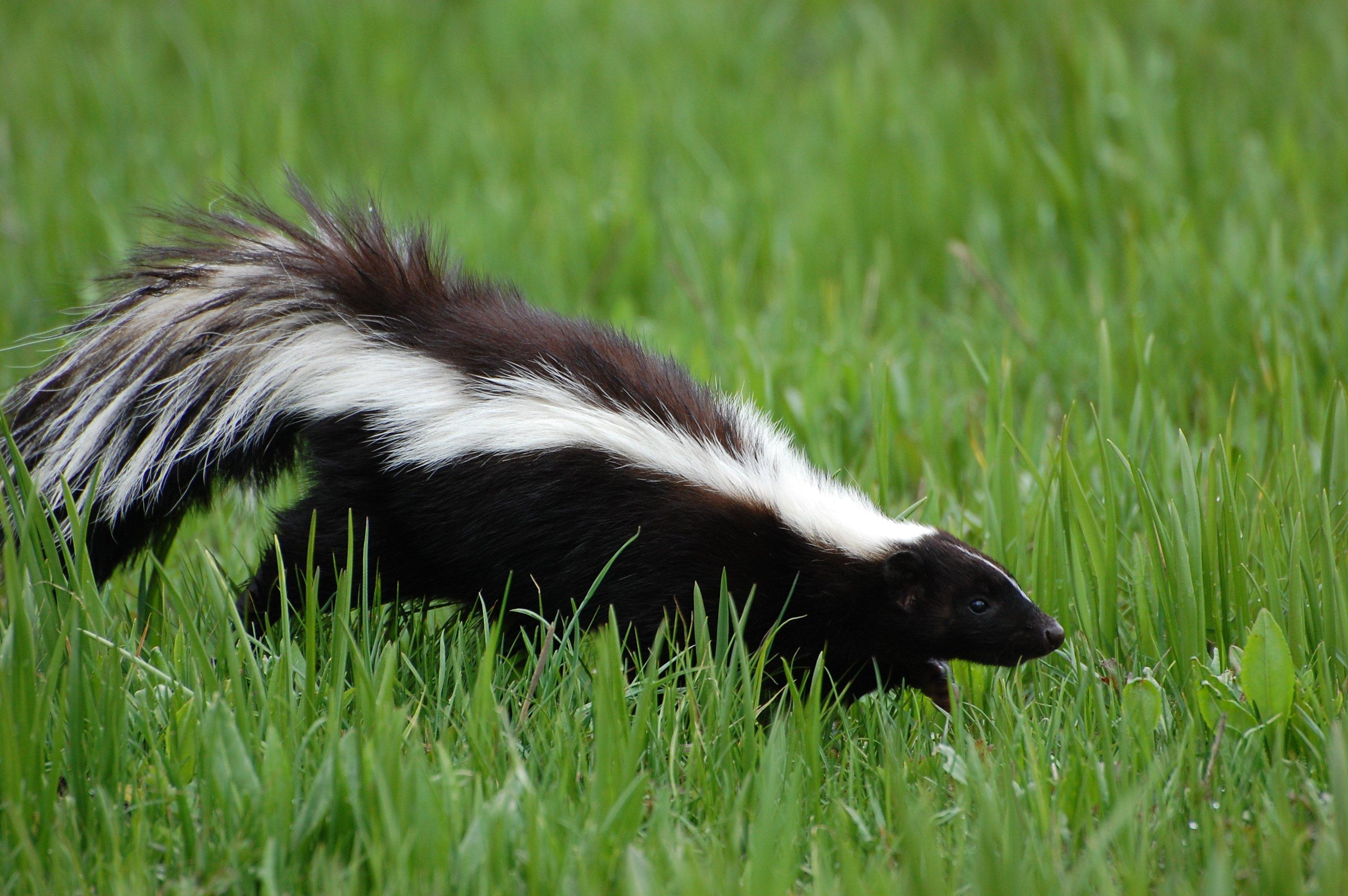 Streifen Skunk
