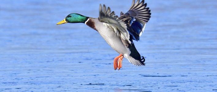 Stockente fliegt über Wasser