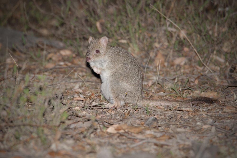 Tasmanien Bürstenrattenkänguru