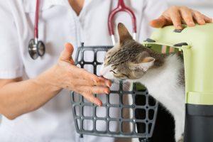 Tierarzt behandelt Katze
